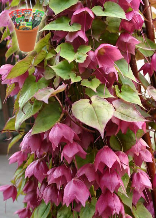 Родохитон, семена (Rhodochiton atrosanguineum Purple Bells)