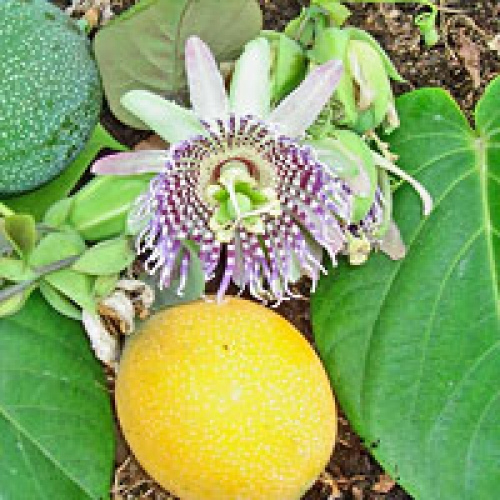 Пасифлора лигуларис сладка гранадила, семена (Passiflora ligularis Sweet Granadilla)