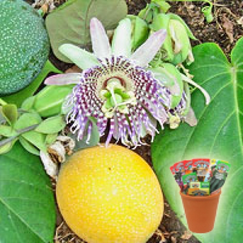Пасифлора лигуларис - Гранадила, семена (Passiflora ligularis Sweet Granadilla)