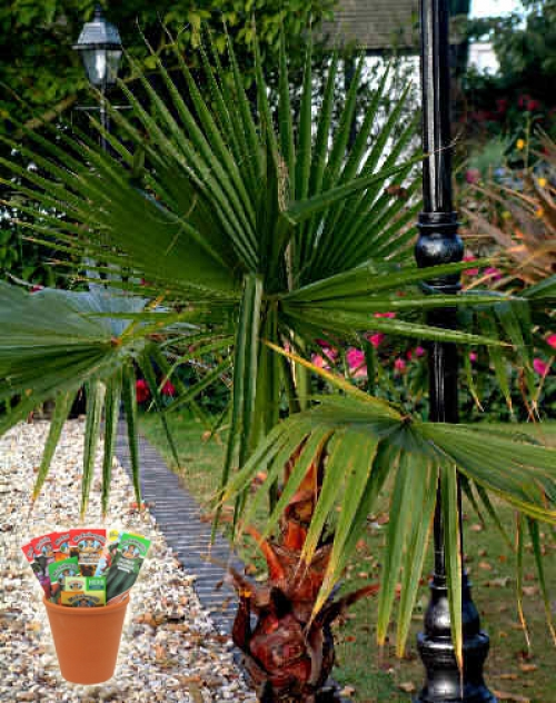 Палма Вашингтония, семена (Washingtonia robusta Sky Duster)