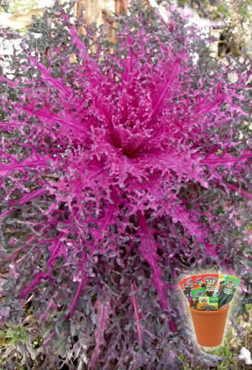 Декоративно зеле, семена (Brassica oleracea Ornamental Winter Kale And Cabbage Red Peacock)