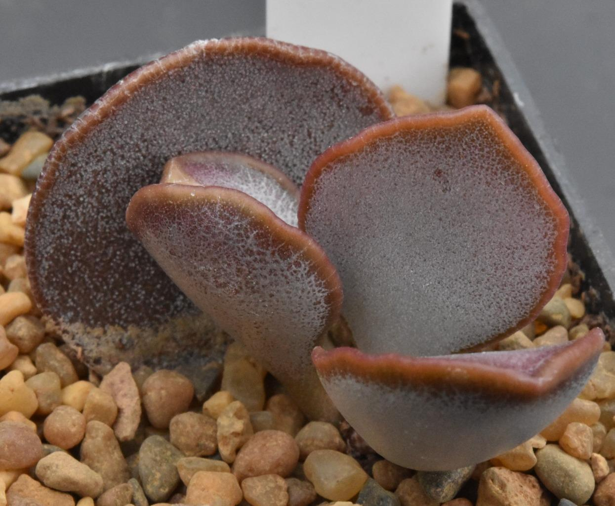 Адромисхус (Adromischus spec. section 4 DT 3695A ENE Oudtshoorn)