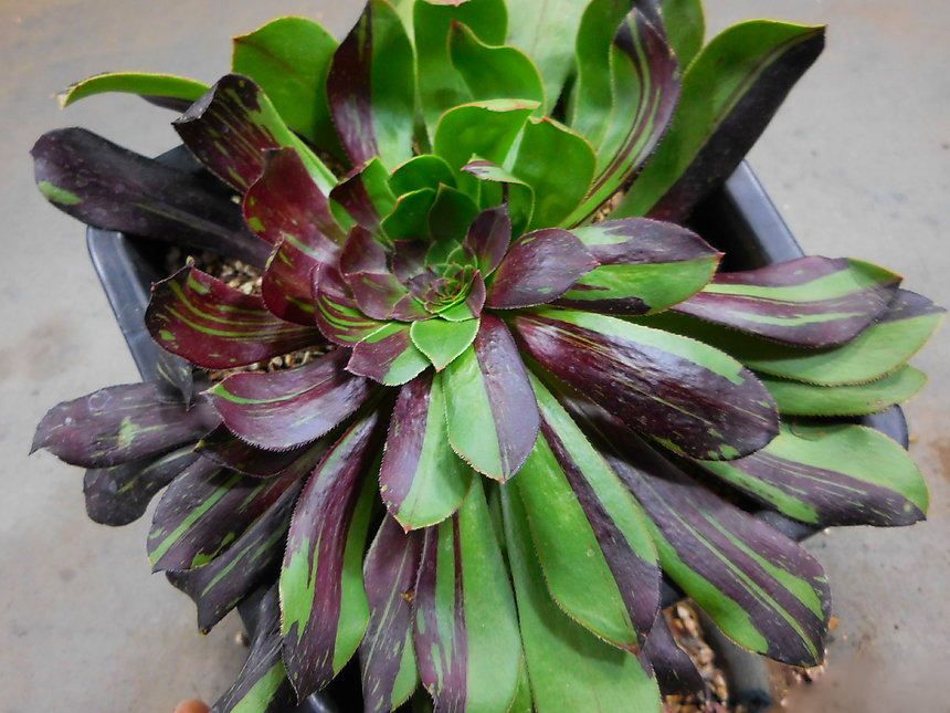 Аеониум BIG BANG (Aeonium arboreum var. atropurpureum BIG BANG 흑법사금군생(자구 많아요) 2021-2275)