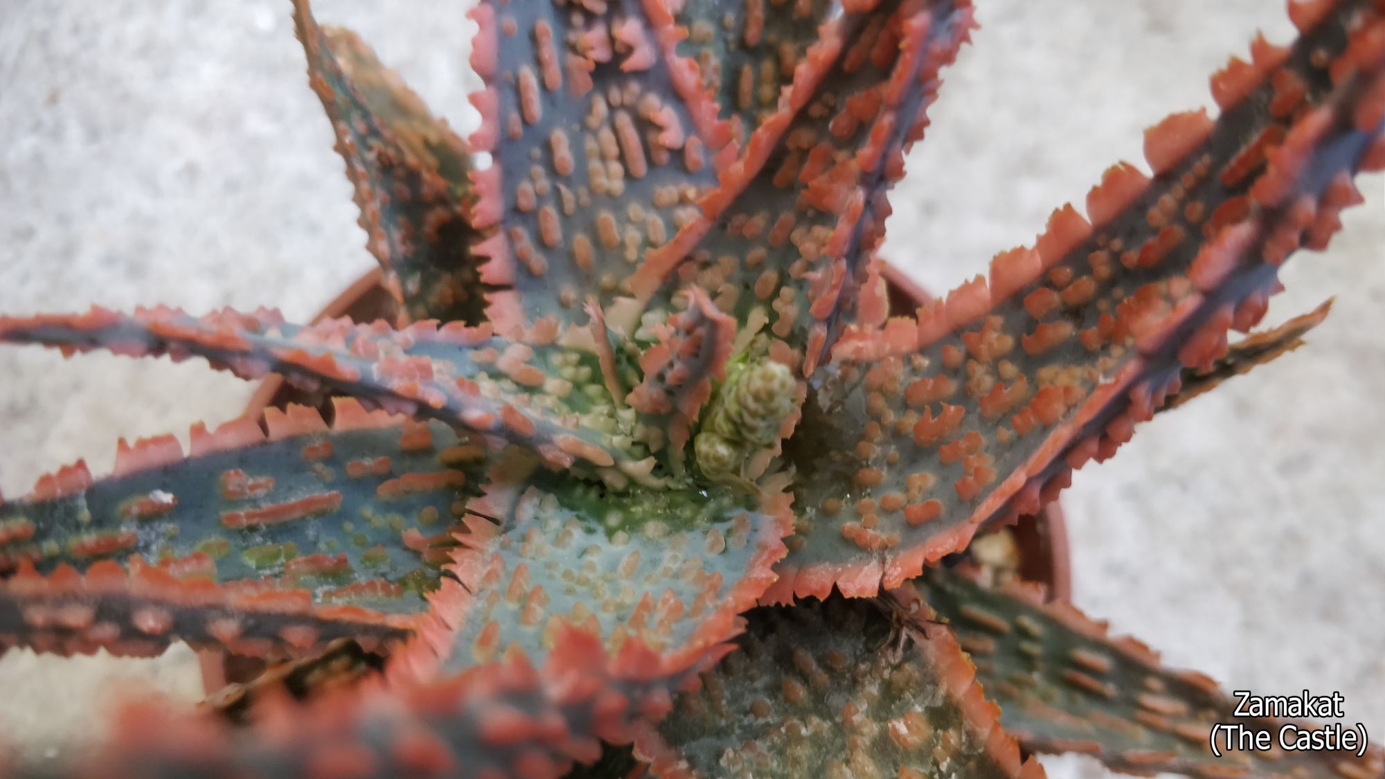 Алое (Aloe bright star hybrid)