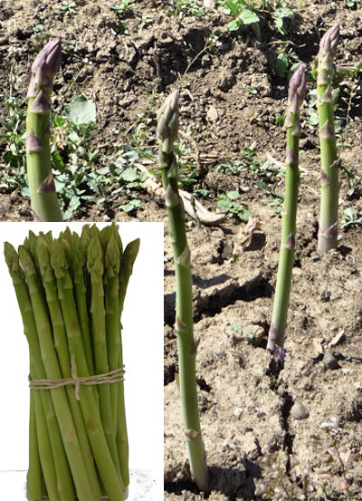 Аспержи, зелен, семена (Asparagus officinalis)
