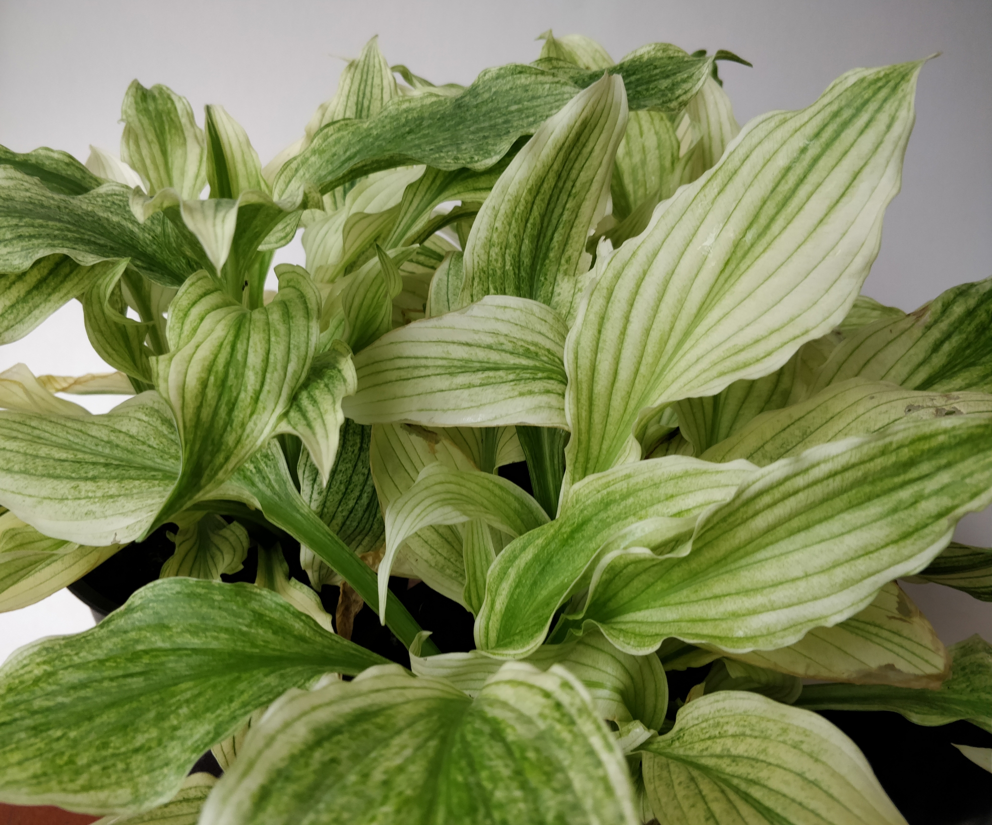 Бяла хоста (hosta white feather)