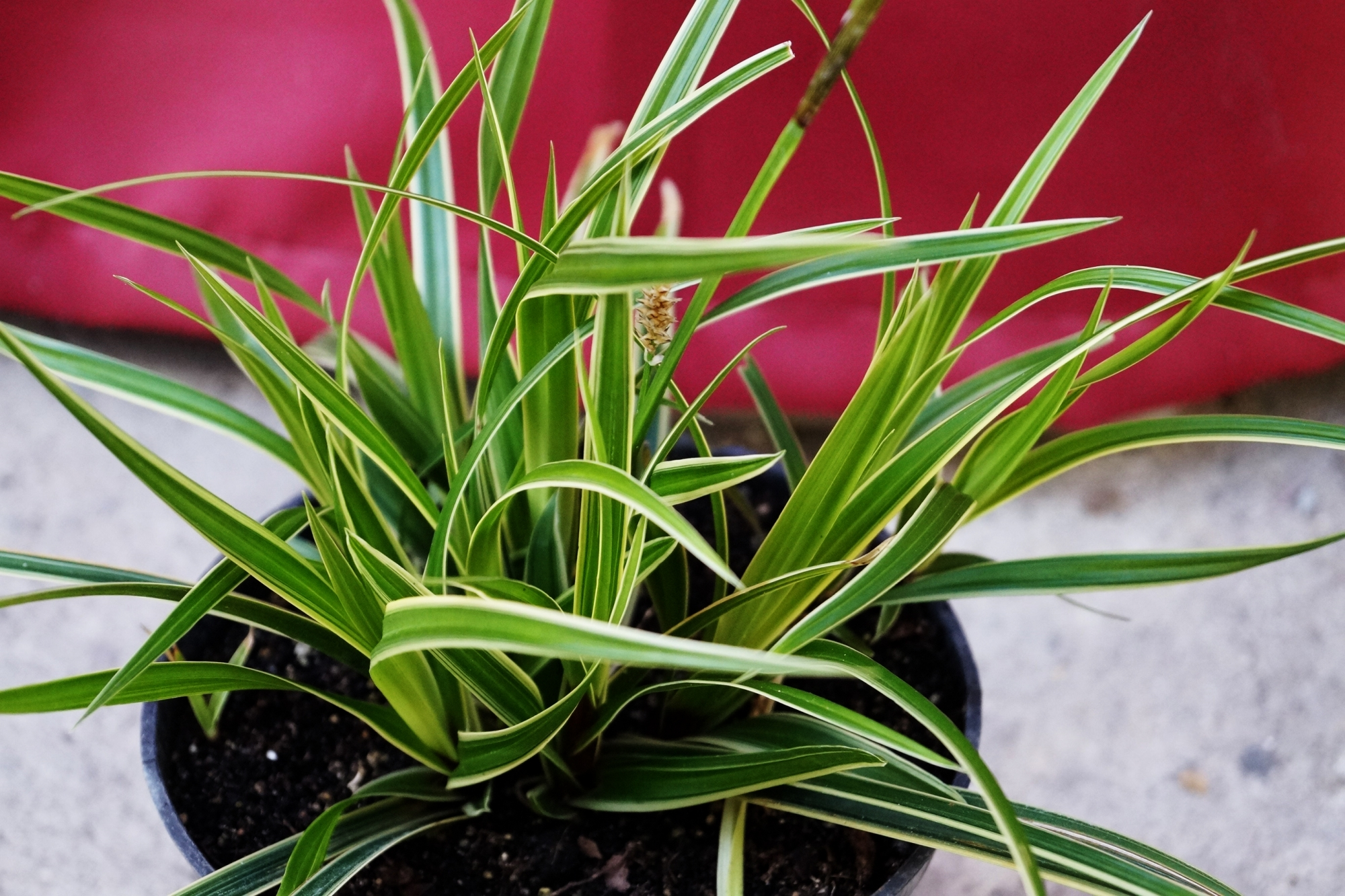 Декоративна вариегатна трева (Decorative variegated grass)