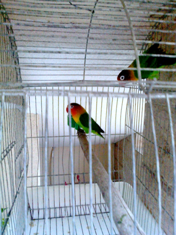 Двойка папагали фишерови неразделки (Couple parrots lovebirds Fischer s Lovebird)