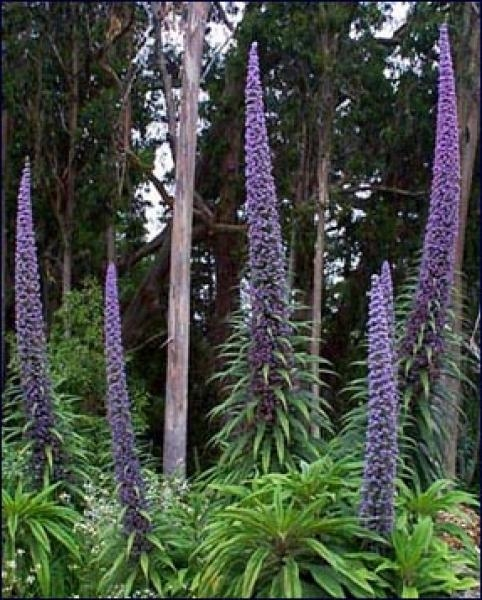 Дърво Ехиум, семена (Echium pininana, The Tree Echium)