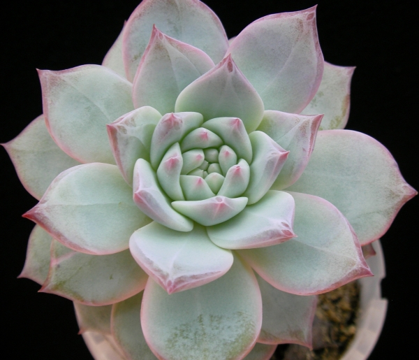 Ешеверия (Echeveria blue bird)