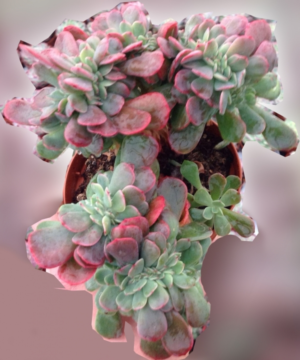 Ешеверия (Echeveria Bryan Rose Crested Echeveria Briar Rose crest)