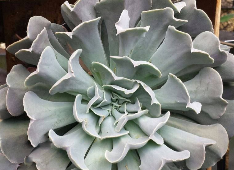 Ешеверия (Echeveria Swan Lake)