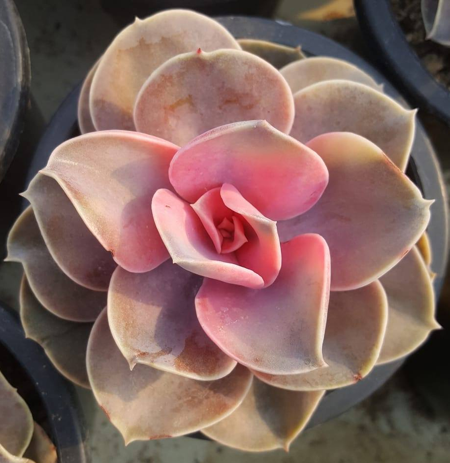 Ешеверия западна дъга (Echeveria west rainbow)