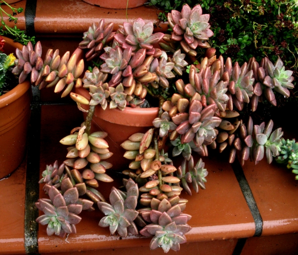 Граптоседум (Graptosedum Bronze Graptosedum - Alpenglow / Vera Higgins)