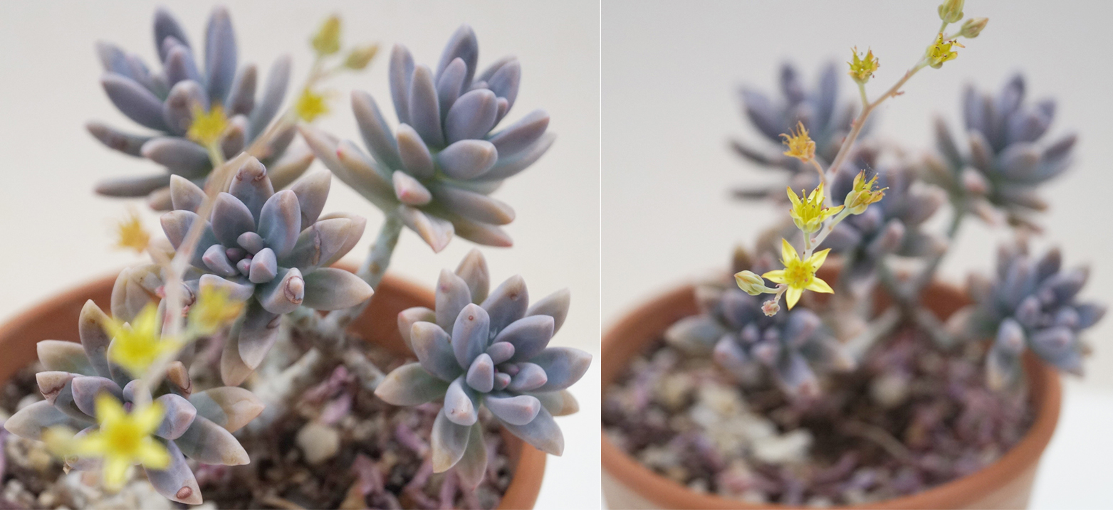Граптоседум (Graptosedum Francesco Baldi)