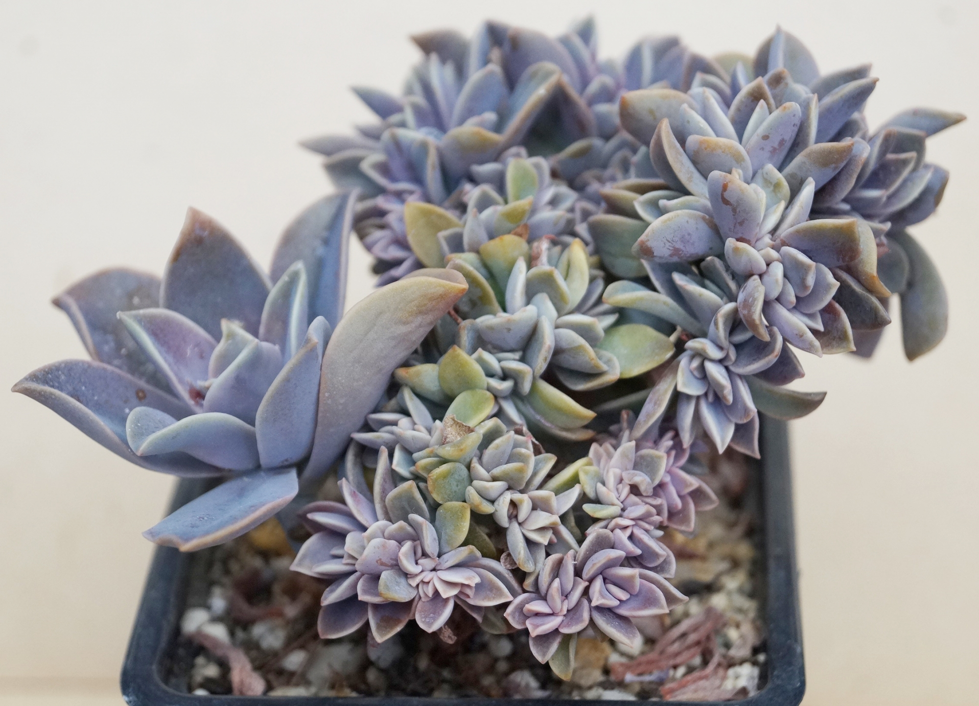 Граптоверия (GRAPTOVERIA FRED IVES CRISTATE)