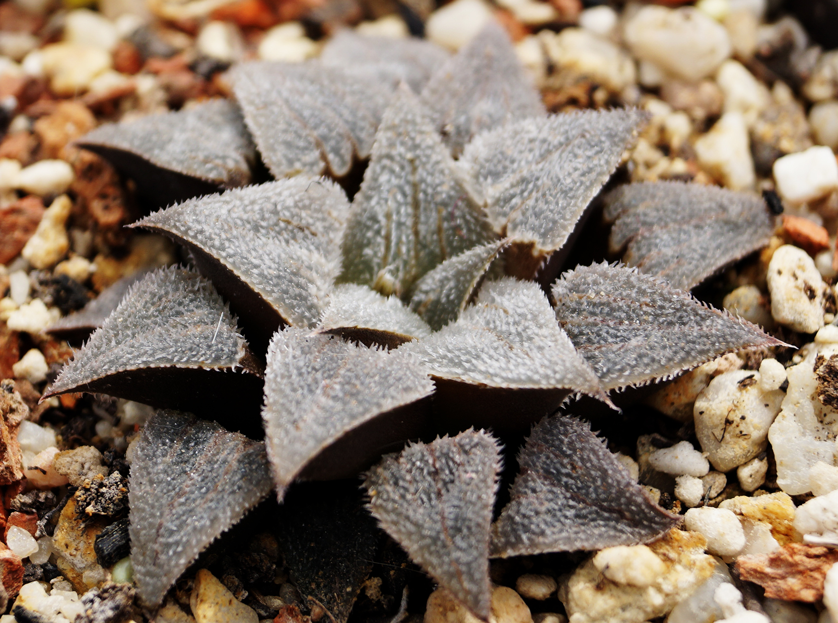 Хавортия (Haworthia emelyae var. major japanese clone)