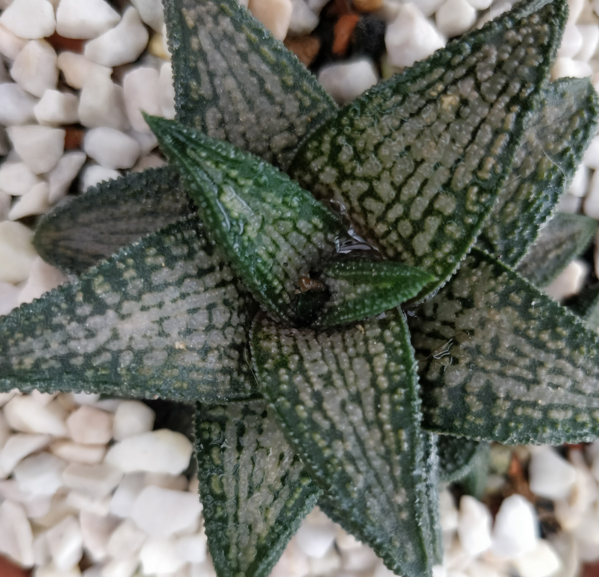 Хавортия (Haworthia kintaikyo)