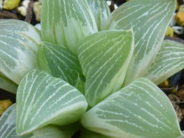 Хавортия (Haworthia Milky Way)