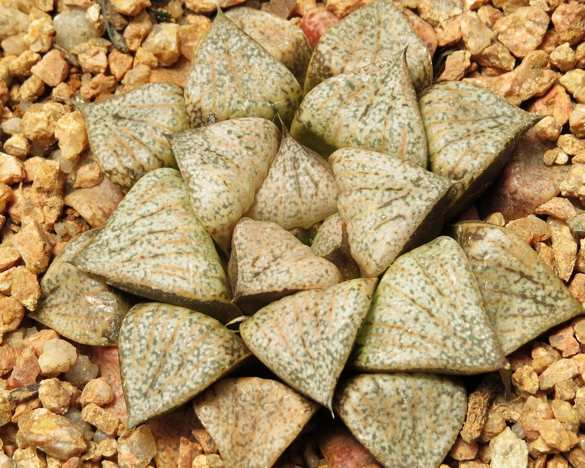 Хавортия (Haworthia picta Beigy Cream)