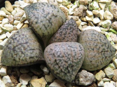 Хавортия (Haworthia picta PC334 ハオルチア PC-334)