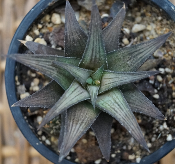Хавортия веноза (Haworthia Venosa select form)