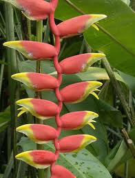 Хеликония, семена (Heliconia rostrata Lobster Claw)