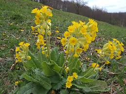 Иглика, Примула, жълта (Primula officinalis)