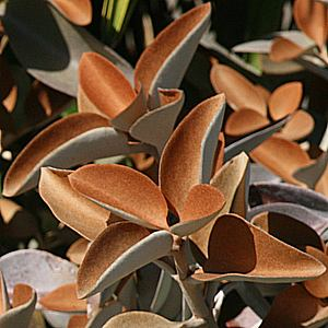 Каланхое (Kalanchoe orgyalis Copper Spoon)