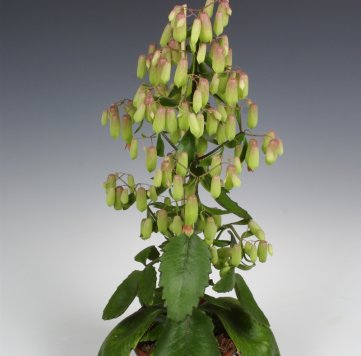 Каланхое, малко (Kalanchoe pinnata magic bells)