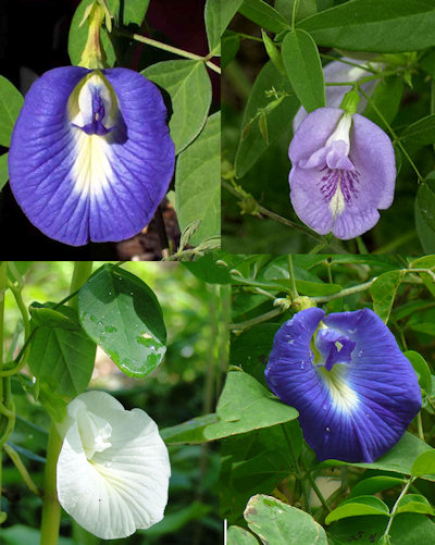 Клитория, микс, семена (Clitoria ternatea mixed)