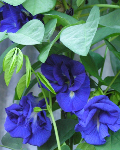 Клитория, семена (Clitoria ternatea Double Blue)