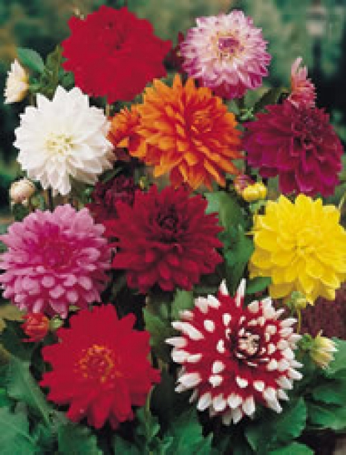 Декоративна далия, микс (Dahlia Decorative mixed)