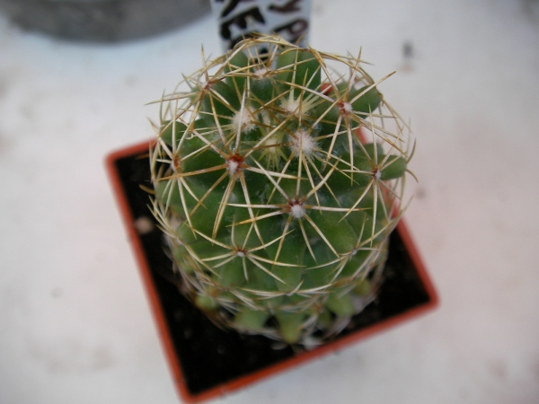 Корифанта (Coryphantha erecta)