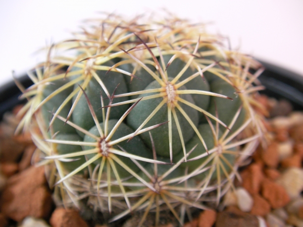 Корифанта (Coryphantha sp)