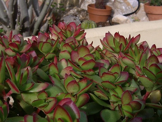 Красула (Crassula dejecta)