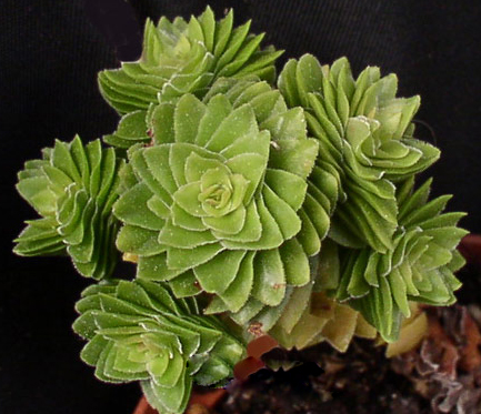 Красула естагнол (Crassula estagnol)