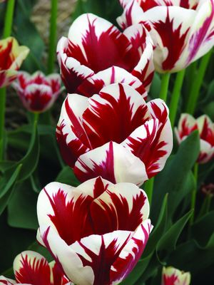 Лале (Tulip Grand Perfection)