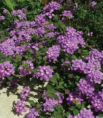 Лантана, малка, каскадна (Lantana sellowiana)