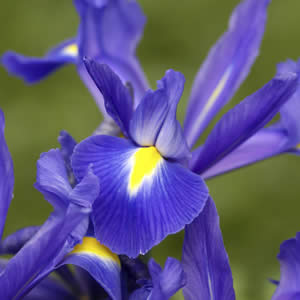 Луковичен ирис (Iris hollandica)