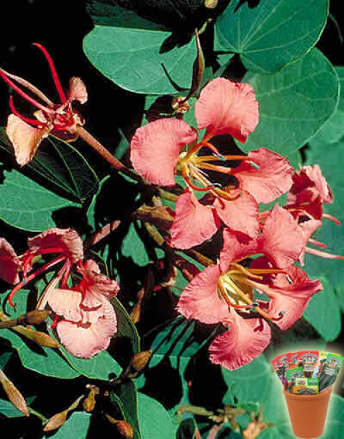 Баухиния, семена (Bauhinia galpinii, Red Orchid Tree or Pride of De Kaap)