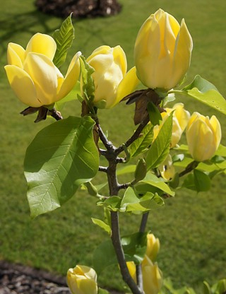 Магнолия Жълта (magnolia yellow bird)