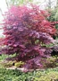 Acer Japanese Maple (Ацер)