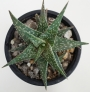 Алое (Aloe descoingsii, dwarf, blue)