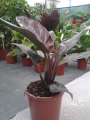 Филодендрон, червен (Philodendron red)