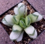 Хавортия (HAWORTHIA cv pale peace)