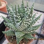 Хавортия (Haworthia margaritifera multiperlata)