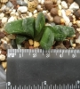Хавортия (Haworthia truncata seiko variegated)