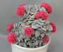 Красула (Crassula Morgans beauty)
