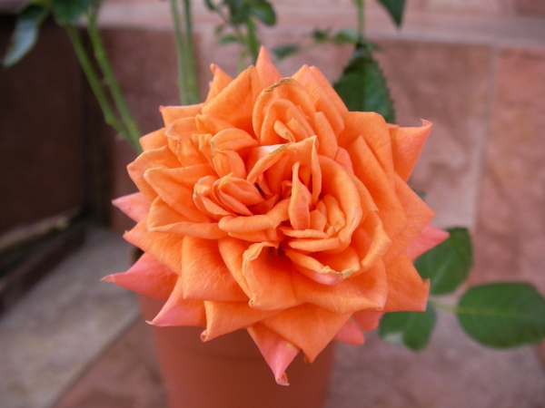 Мини роза оранжева (Mini rose orange)